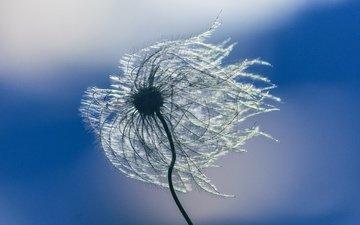 небо, природа, цветок, ветер, пушинки, былинки