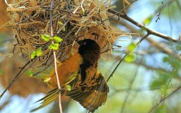 крылья, птица, перья, гнездо