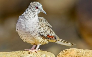 bird, beak, tail, inca dove, turtledove
