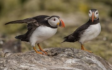 bird, beak, pair, stalled, puffin