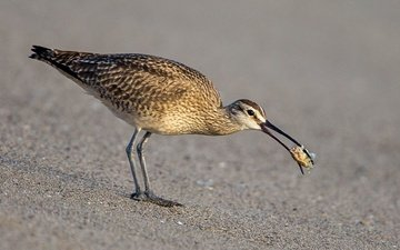 bird, beak, whimbrel, curlew