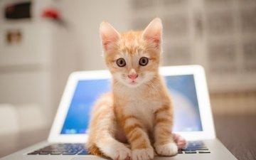 кот, мордочка, усы, кошка, взгляд, размытость, ноутбук, рыжий котенок