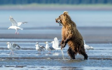 вода, река, медведь, птицы, чайки, рыба