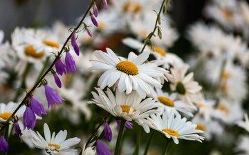 flowers, petals, chamomile, stems, bells, bokeh