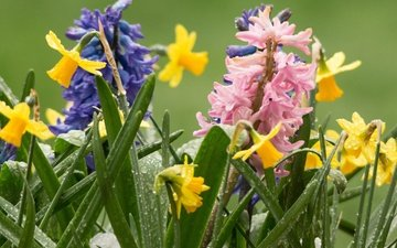 цветы, роса, капли, весна, нарциссы, гиацинты