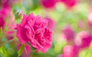 цветы, роза, лепестки, сад, блики, бутон