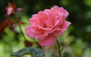 цветок, роза, лепестки, размытость, стебель, розовая роза