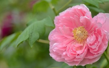 листья, цветок, лепестки, размытость, розовый, нежность, пион