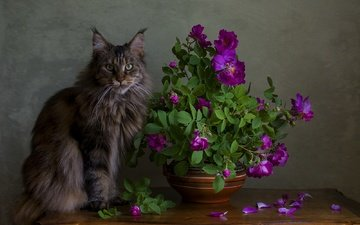 cat, muzzle, mustache, roses, petals, look, table, maine coon