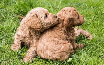 grass, look, puppies, kids, breed, poodle, dogs, faces