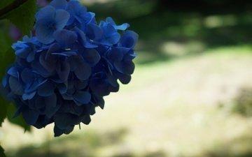 синий, цветок, соцветия, боке, гортензия