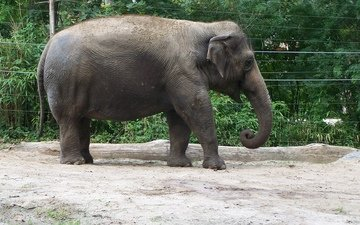 elephant, trunk, zoo