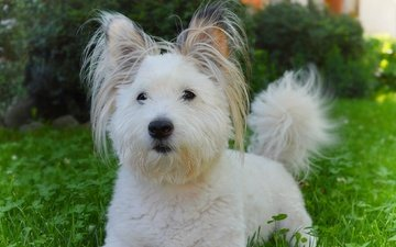 grass, muzzle, look, dog, puppy, the west highland white terrier