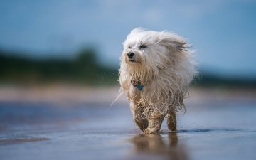 мордочка, взгляд, собака, брызги, щенок, боке, гаванский бишон, лохматая, 1'2'