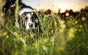 flowers, grass, muzzle, look, dog, each, dandelions, the border collie