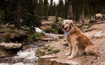 лес, ручей, мордочка, взгляд, собака, друг, золотистый ретривер