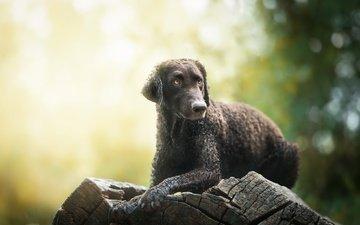 мордочка, взгляд, собака, друг, бревно, электра, nicole trenker fotografie