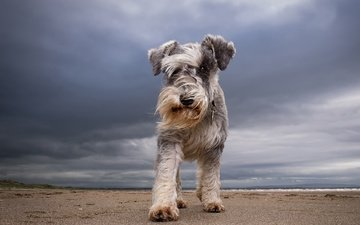 the sky, clouds, muzzle, look, dog, each, schnauzer