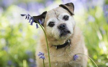 цветы, мордочка, взгляд, собака, друг, ошейник