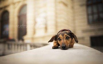 muzzle, look, dog, puppy, each, dachshund