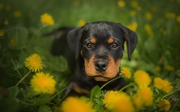 flowers, muzzle, look, dog, puppy, dandelions, rottweiler, frelka