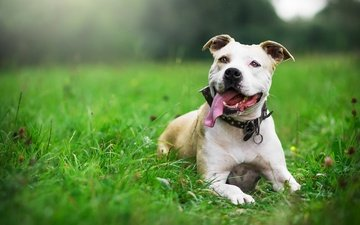 трава, собака, ошейник, язык, стафф, терьер, стафффордшир