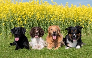 трава, солнце, зелень, лежат, лабрадор, собаки, ретривер, спаниель, бордер-колли, рапс, желтые цветы