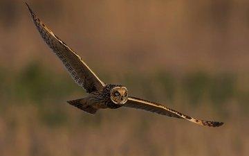 сова, полет, крылья, птица, неясыть