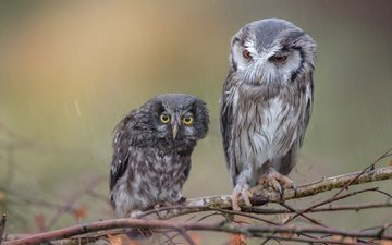owl, branches, birds, wet, rain, owls, tanja brandt