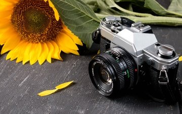 flower, petals, table, sunflower, the camera, camera