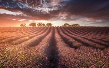 light, trees, flowering, sunset, field, lavender, horizon, farm