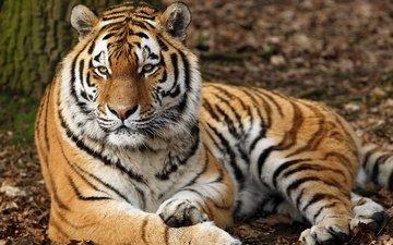 тигр, морда, взгляд, хищник, дикая кошка