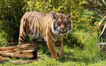 тигр, морда, трава, ветки, взгляд, хищник, тигренок, дикая кошка, амурский