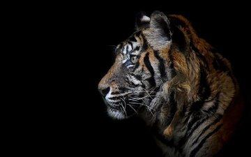 тигр, морда, взгляд, хищник, профиль, черный фон, зверь, дикая кошка