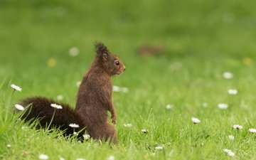 grass, chamomile, protein, bokeh, stand, squirrel, rodent