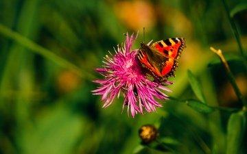 трава, растения, насекомое, цветок, лето, бабочка, крылья