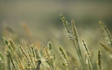 grass, nature, background, summer, spikelets, stems