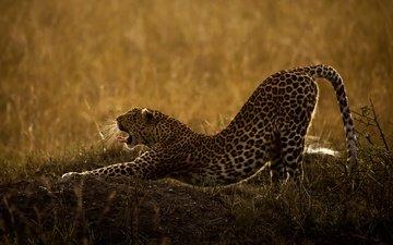 трава, природа, леопард, хищник, животное, язык, пасть, дикая кошка