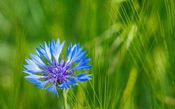 grass, nature, macro, blue, flower, petals, meadow, cornflower