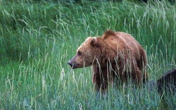 трава, природа, медведь, сша, аляска, бурый медведь