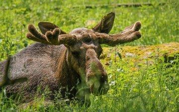 морда, трава, взгляд, рога, лось