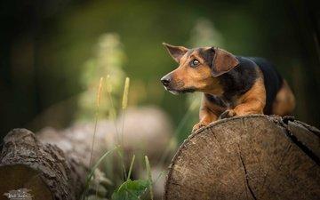 трава, мордочка, взгляд, собака, профиль, прогулка, такса, бревно