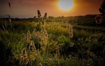 the sky, grass, the sun, nature, sunset, horizon, spikelets, wildflowers