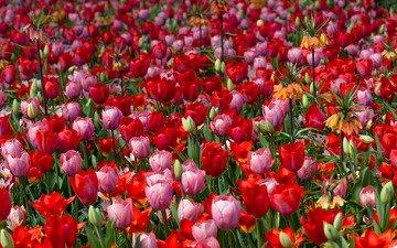 цветение, бутоны, листья, лепестки, тюльпаны, яркость