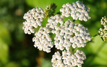 цветы, белый, соцветия, боке, тысячелистник