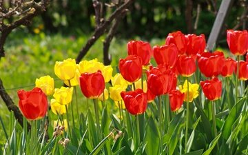 flowers, spring, tulips, red tulips, yellow tulips