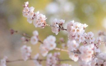 цветение, ветки, размытость, весна, сакура