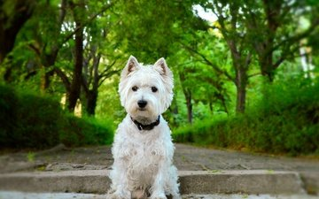 trees, muzzle, look, dog, puppy, collar, the west highland white terrier