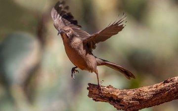 ветка, крылья, птица, клюв, хвост, пересмешник, красногузый кривоклювый пересмешник