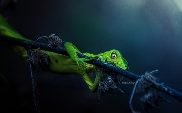 branch, leaves, lizard, black background, reptile, iguana